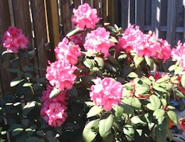 De Rhododendron in onze tuin.